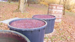 Fermented plum in plastic barrels for making domestic brandy Stock Footage