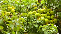 Ripe yellow apples hanging on branches of fruit tree Stock Footage