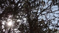 Sun through Forest Treetops - Short Rotating Pan Stock Footage