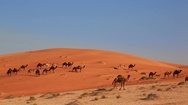 Camels in desert Stock Footage