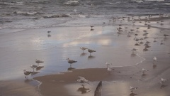 Several wild sea gulls on the beach Stock Footage