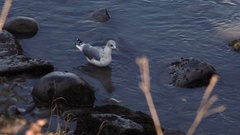 Sea Bird Wandering Shoreline and Diving Stock Footage
