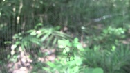 Giant golden silk orb weaver spider (time lapse) Stock Footage