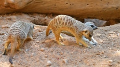 Meerkat or Suricate (Suricata Suricatta) in Africa Stock Footage