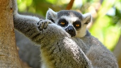 Lemur Portrait On Madagascar Island Stock Footage