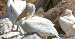 White Pelican Birds Stock Footage