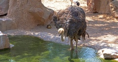 Gray Ostrich Drinking Water Stock Footage