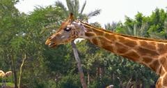 Northern Giraffe (Giraffa Camelopardalis) Portrait Stock Footage