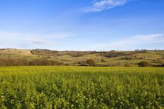Yorkshire wolds mustard crop Stock Photos