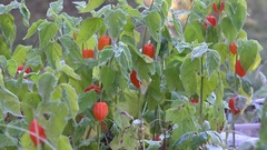 Decorative cape gooseberries with white frost rime. Focus in. 4K Stock Footage
