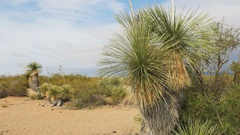 Yucca plant blowing in the wind Chihuahuan Desert New Mexico Stock Footage