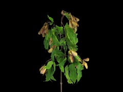 Time-lapse of drying Acer leaves, 4K with ALPHA Stock Footage