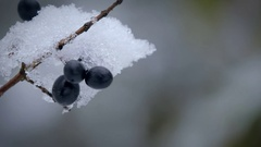 The snow on the berries. Stock Footage