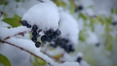 Blue berries under the snow. Close-up Stock Footage