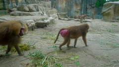 Baboon monkeys in zoo Stock Footage