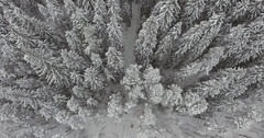 Camera moves among snow-covered trees during snowfall in forest at winter day. Stock Footage