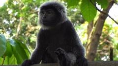 Black gibbon monkey in zoo Stock Footage