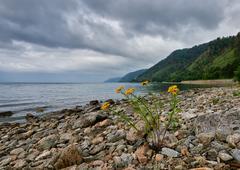 Single flowering tansy on stone shore of Lake Baikal Stock Photos