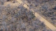 Wildebeest herd running ariel view Stock Footage