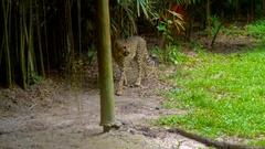 Cheetah walking in zoo Stock Footage