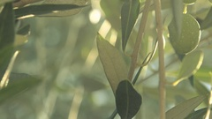 Ripe green olive fruit on tree branch in orchard Stock Footage