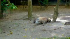Komodo dragon reptile in zoo Stock Footage