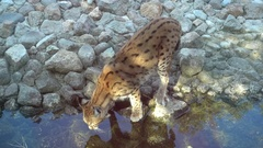 Bobcat drinks water at the watering point Stock Footage