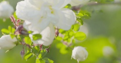 Closeup briar rose white flower on the bush in sunny day Stock Footage