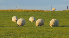 Round white sheeps are feeding on bright green field in fall in Iceland, evening Stock Footage