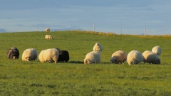 Flock of black, grey and white sheep is feeding on bright green field in fall in Stock Footage