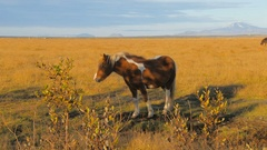 Red-white icelandic horse is strolling on a field and walking out from frame Stock Footage
