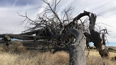 Old rustic dead tree with tumbleweeds HD Stock Footage