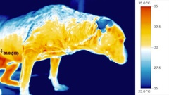 Pet canine veterinary diagnosis - dog body temperature, illness Stock Footage