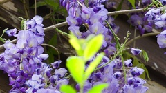 Bee on Wisteria Stock Footage