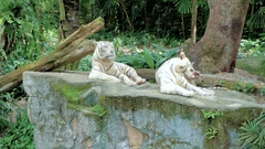White tigers in zoo Stock Footage
