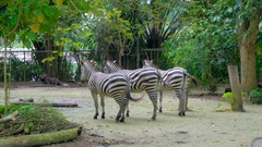 Three zebras wagging tails in zoo Stock Footage