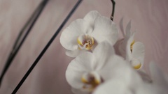 White orchid flower head close up isolated on white background Stock Footage