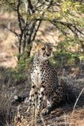 Close view of a cheetah resting and boring at cheetahs farm Stock Photos