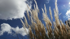 Beautiful feathery maiden grass waves against clouds and blue sky Stock Footage