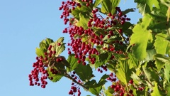Viburnum ripe red berries Stock Footage