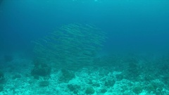 School of Barracudas on a coral reef. 4k Stock Footage