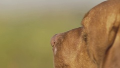 Hound head close up slow-mo Stock Footage