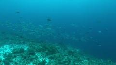 Big-eye Trevallies on a coral reef Stock Footage