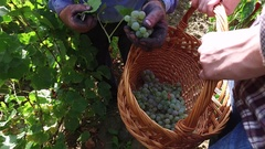 Vineyard workers with putting grapes in basket during harvest Stock Footage