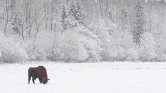 European Bison in winter time. Stock Footage