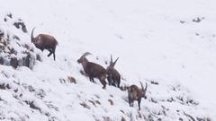 Herd of alpine ibexes grazing in snow Stock Footage