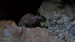 Rock-wallaby Blue Mountains Australia Stock Footage