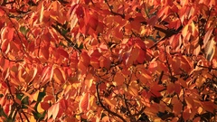 Colorful Autumn Leaves Swaying in Wind Stock Footage