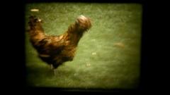 Vie chick feeding Stock Footage