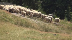 Mountain Flock of Sheep Moving and Grazing in Alpine Landscape. Stock Footage